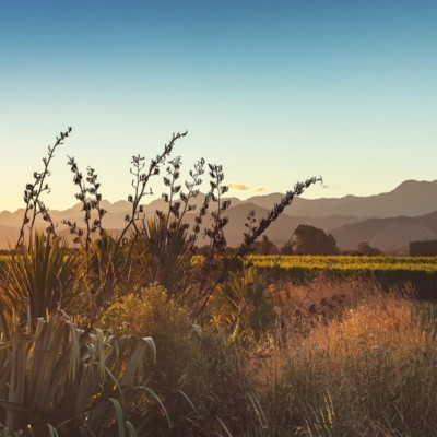 Flowering flax heads and bushes in foreground with grapes and Richmond Ranges in background late afternoon