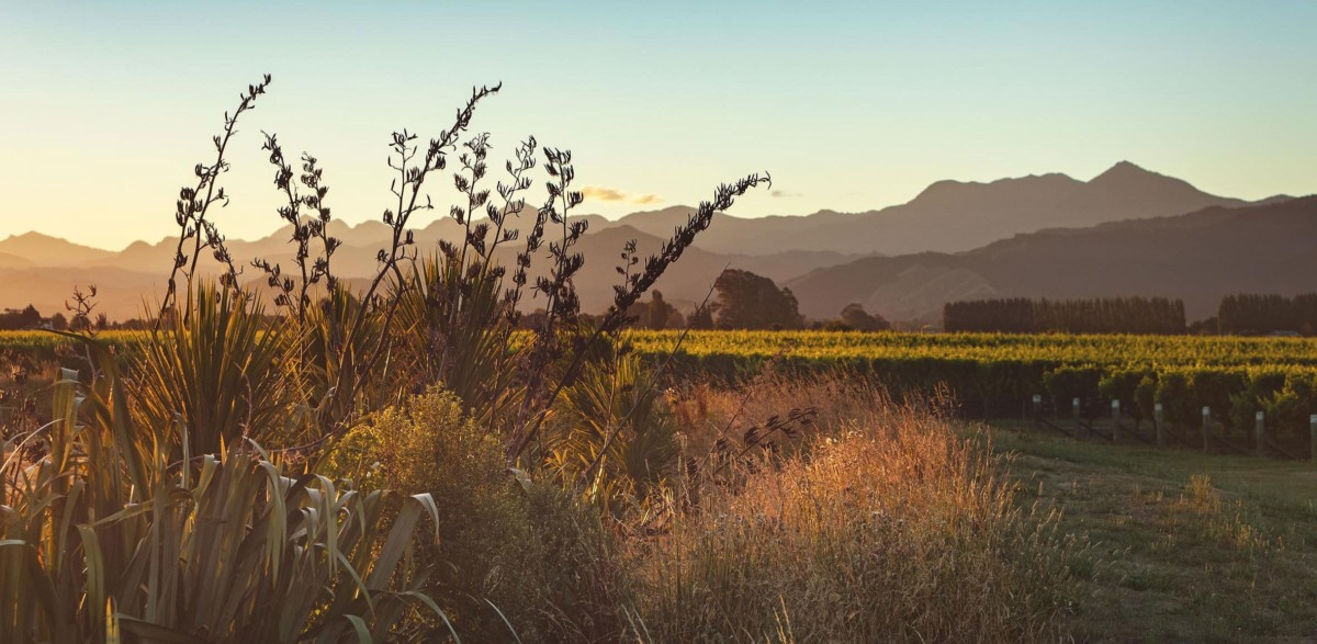 View of vineyards at sunset beyond flax bushes with the Richmond Ranges in the background